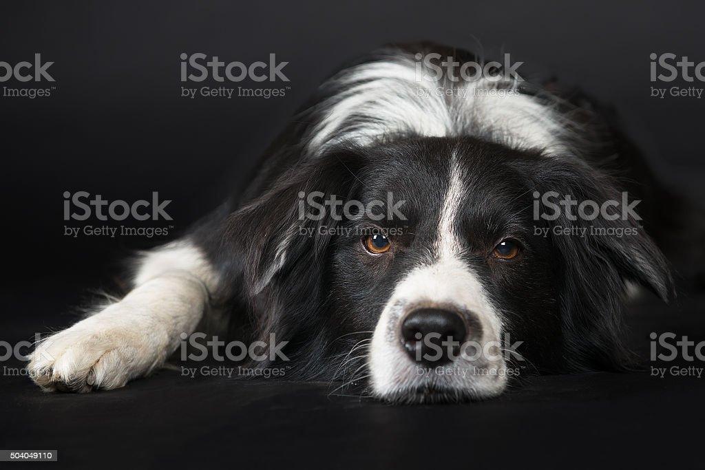 Studio shot of black and white border collie stock photo