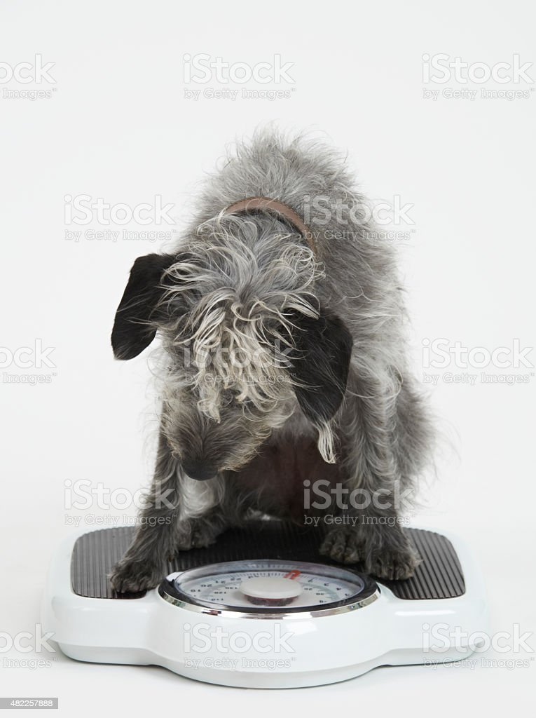 Studio Shot Of Lurcher Dog Sitting On Bathroom Scales stock photo