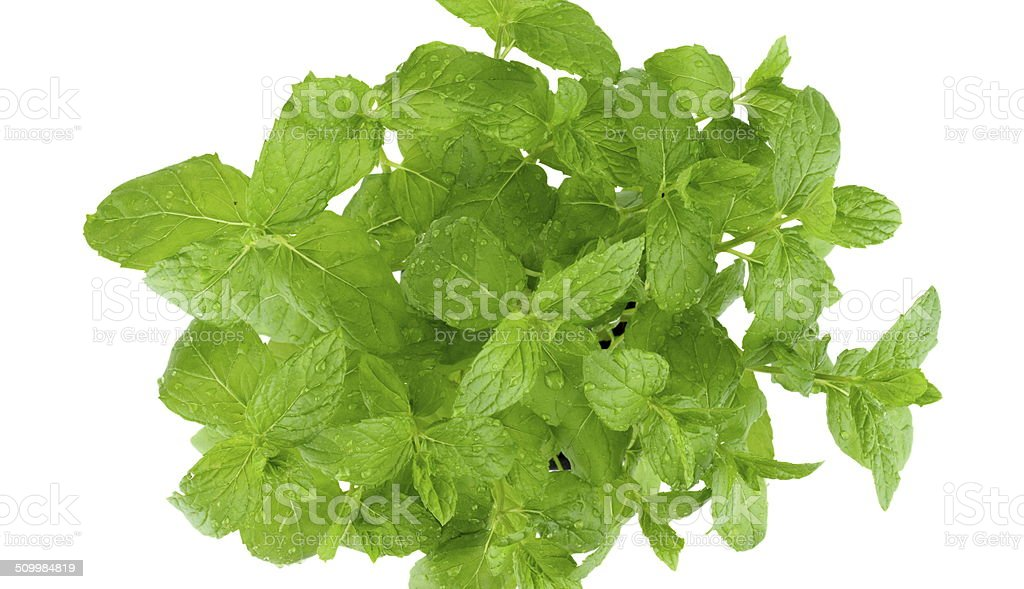 Studio shot of mint leaves isolated on white royalty-free stock photo