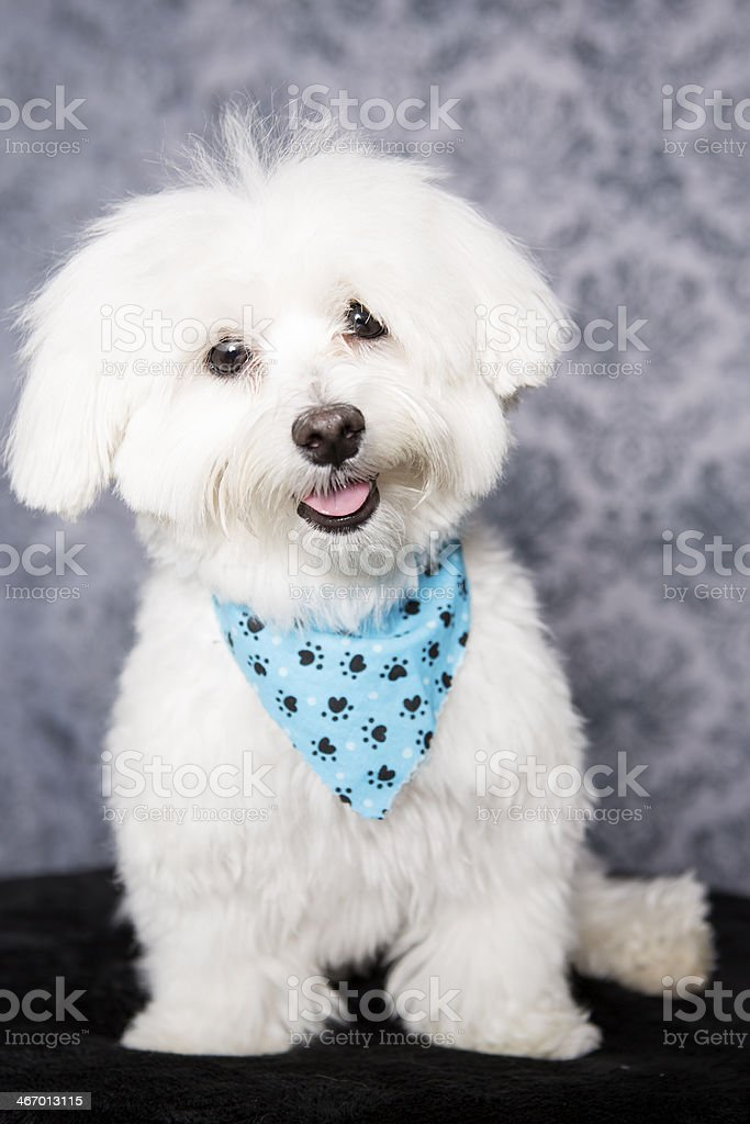 Studio shot of our Maltese royalty-free stock photo