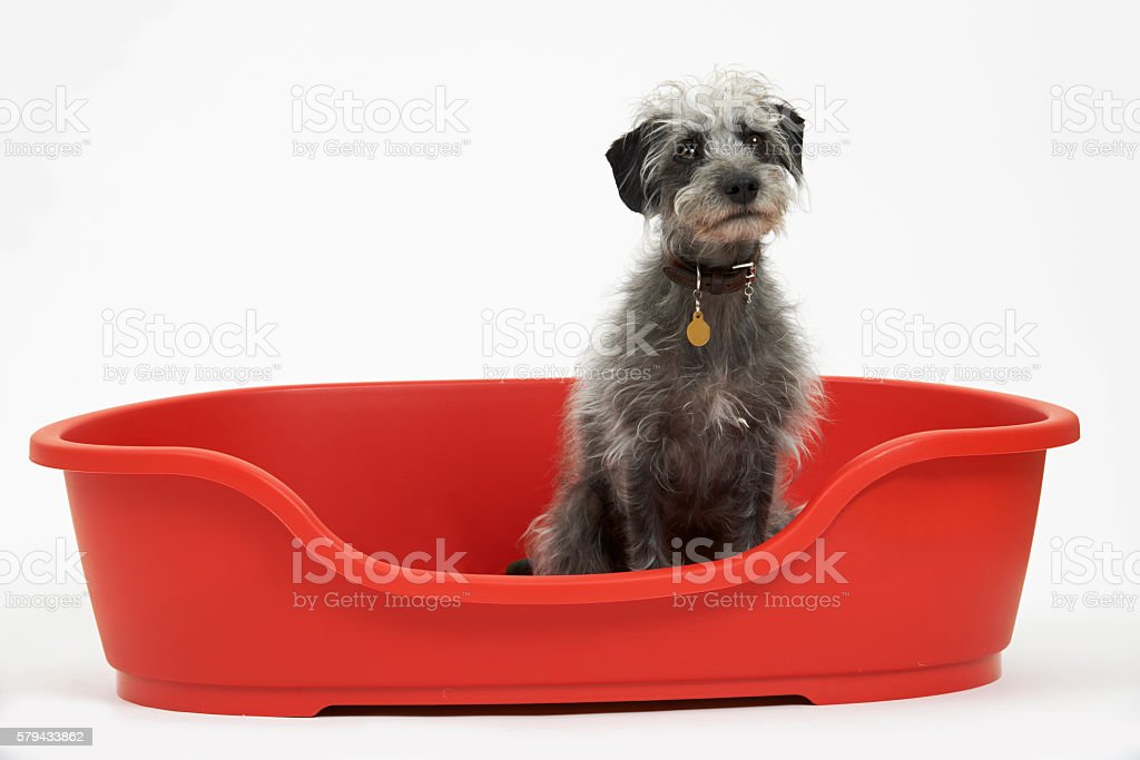 Studio Shot Of Pet Lurcher Sitting In Red Dog Bed stock photo