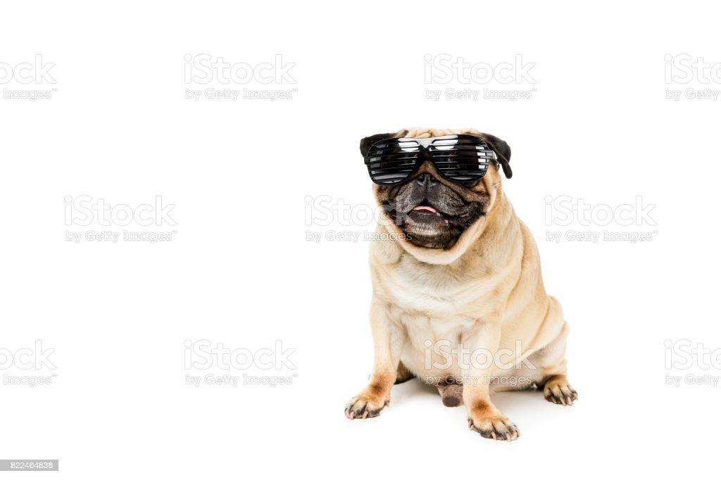studio shot of stylish pug dog in sunglasses, isolated on white stock photo