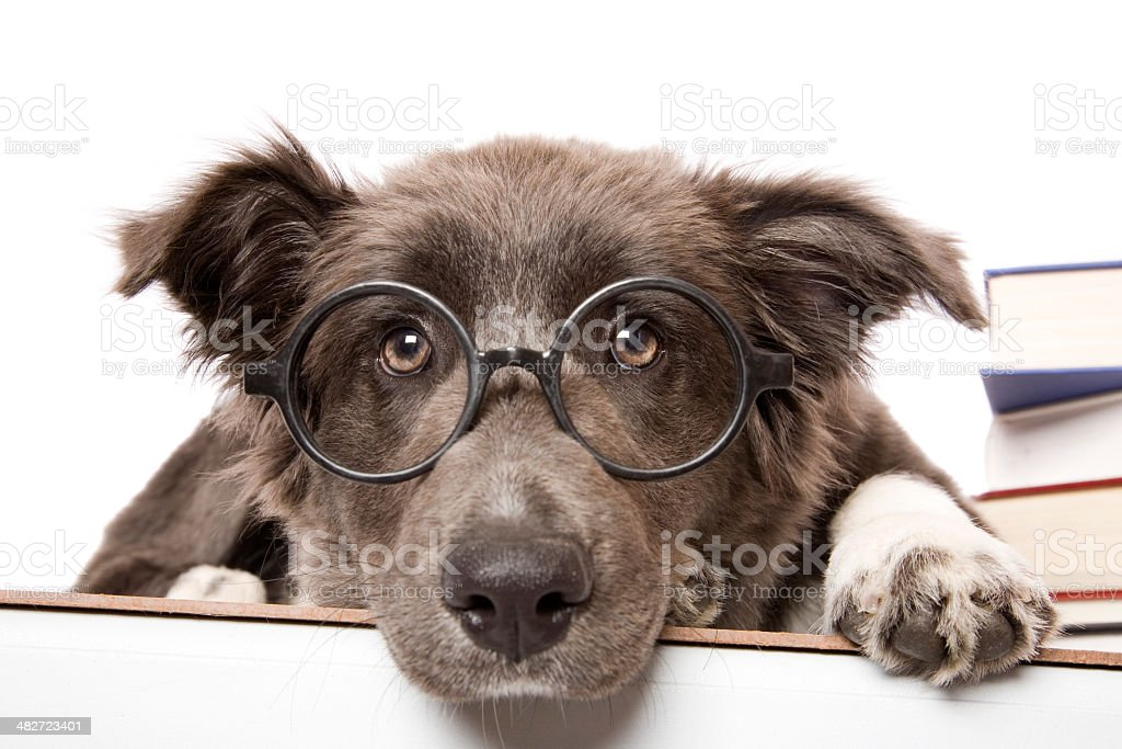 Studious Pup stock photo