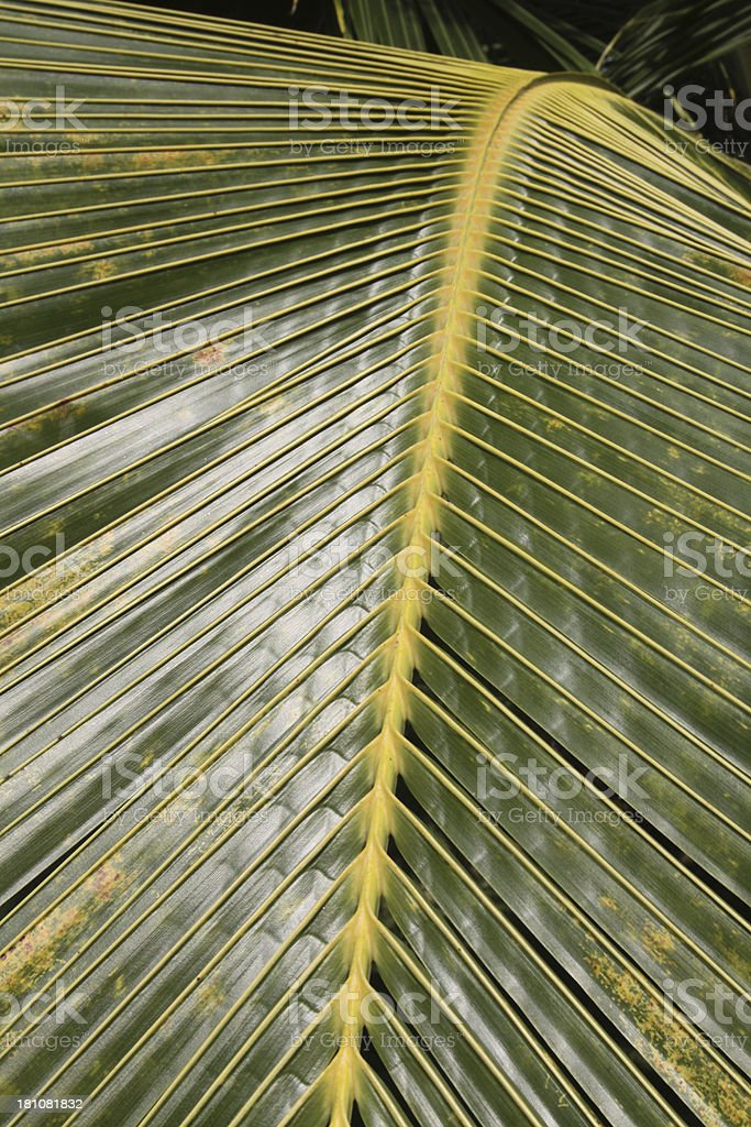 Study Of A Palm Branch royalty-free stock photo