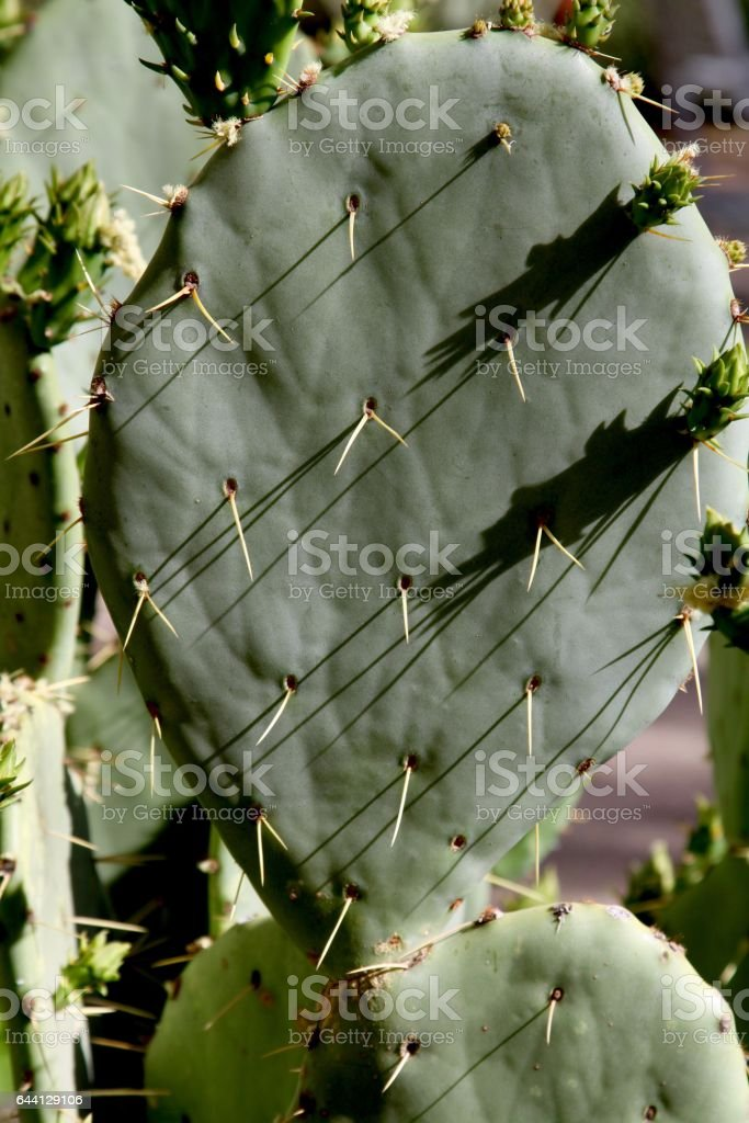 Study Of A Prickly Pear Cactus stock photo