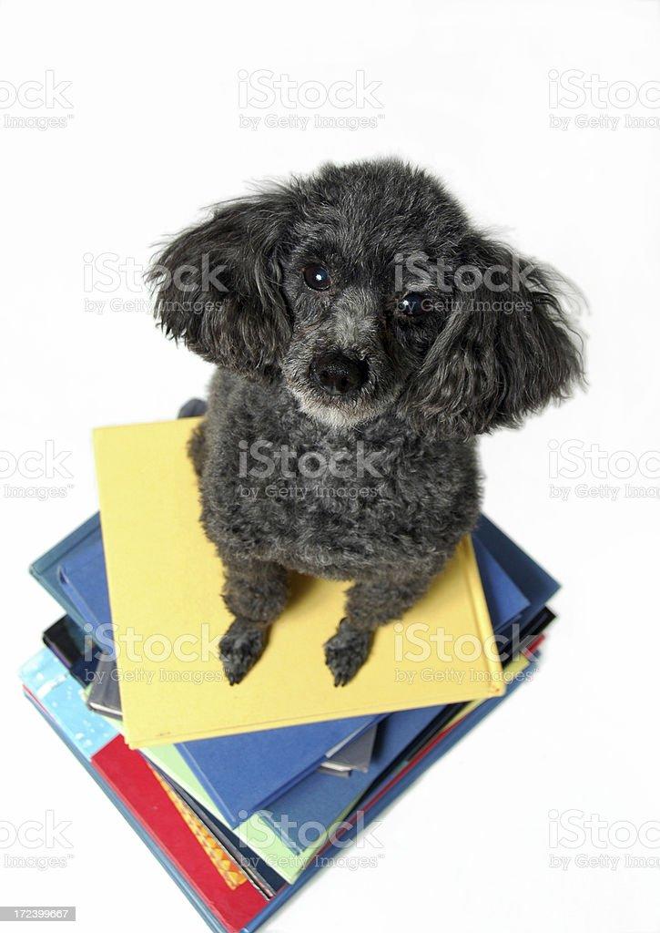 Studying Like a Dog royalty-free stock photo