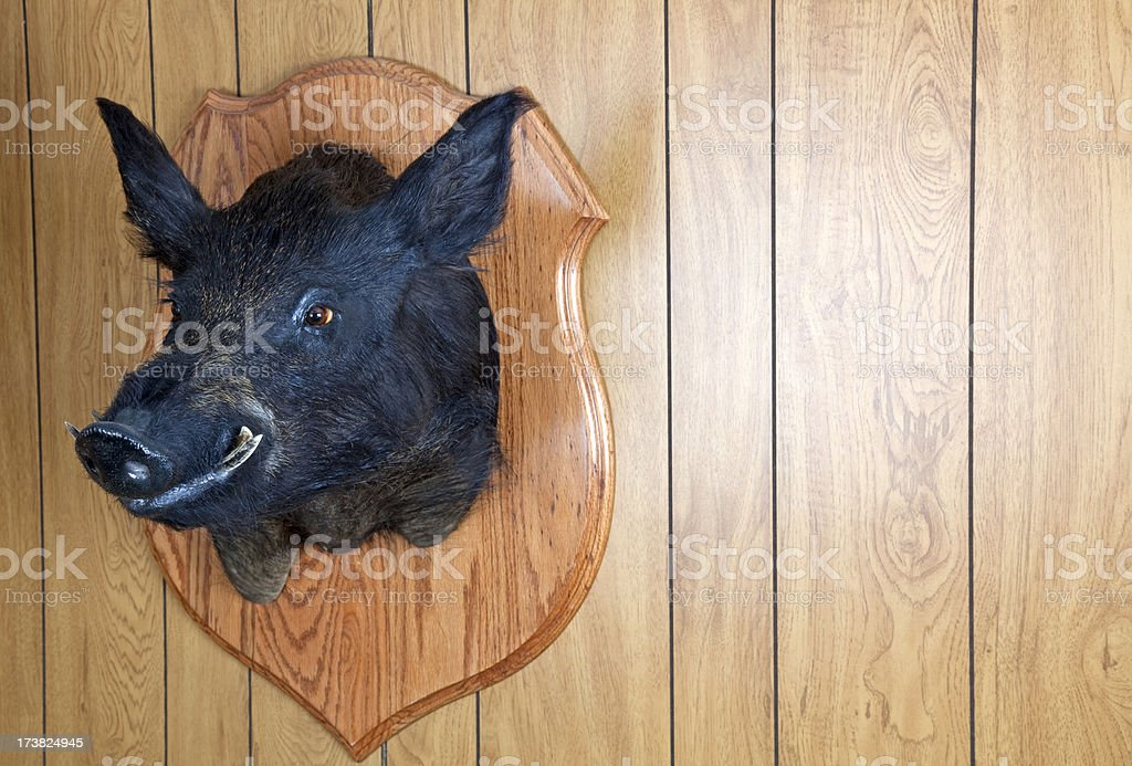 Stuffed and Mounted Wild Pig/Hog royalty-free stock photo