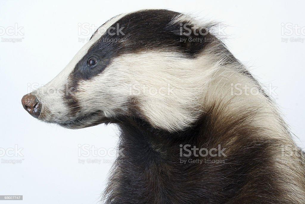 stuffed badger stock photo