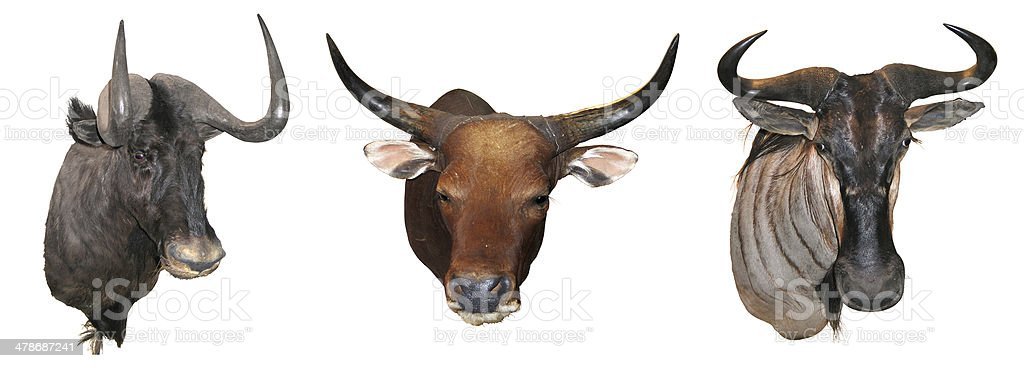 Stuffed buffalo head stock photo