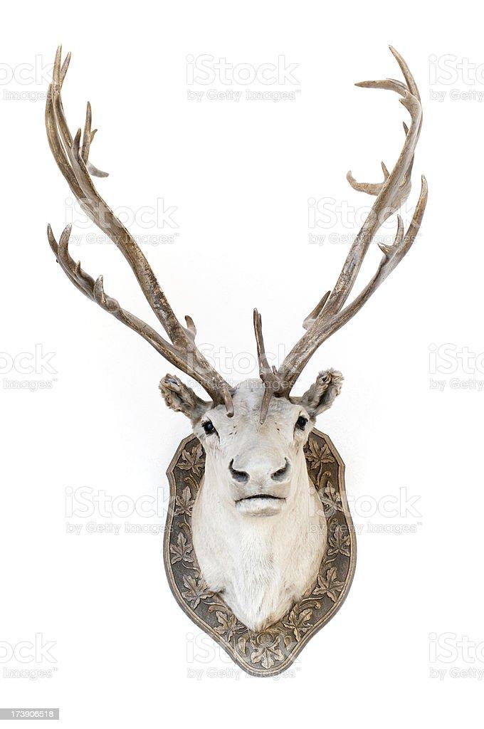 Stuffed caribou head, taxidermy royalty-free stock photo