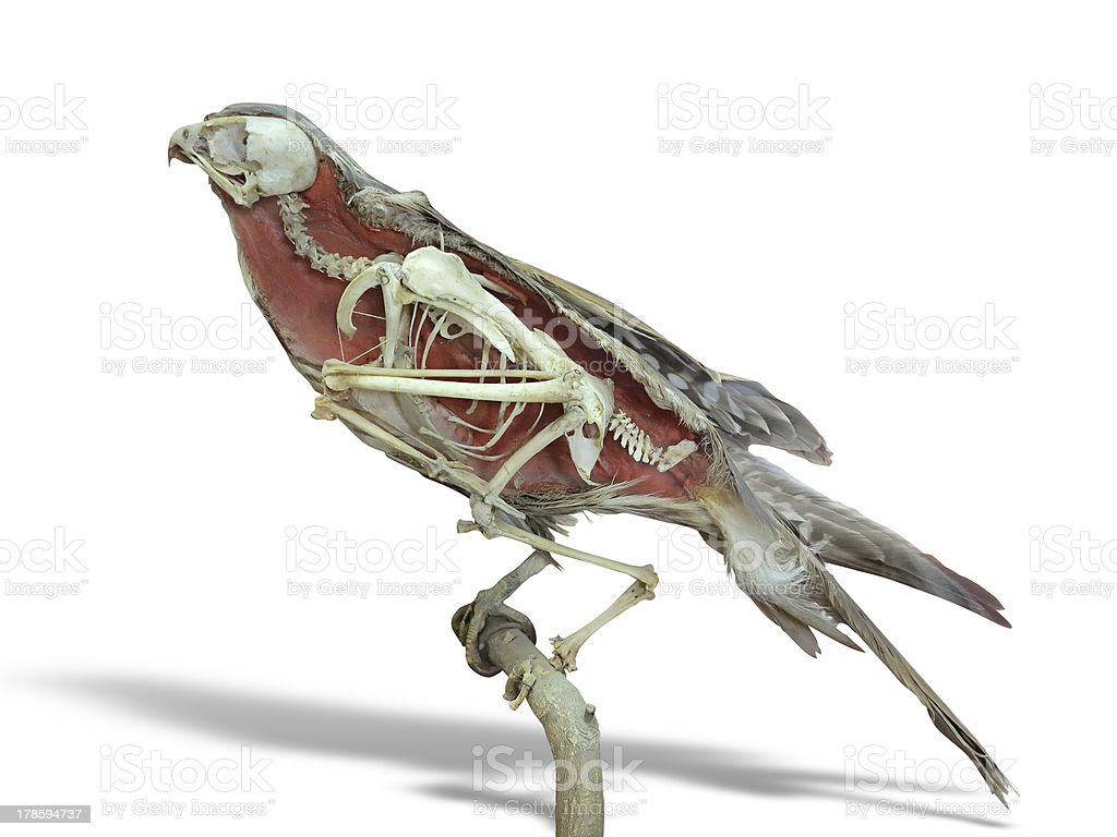 Stuffed falcon bird with skeleton inside isolated over white stock photo