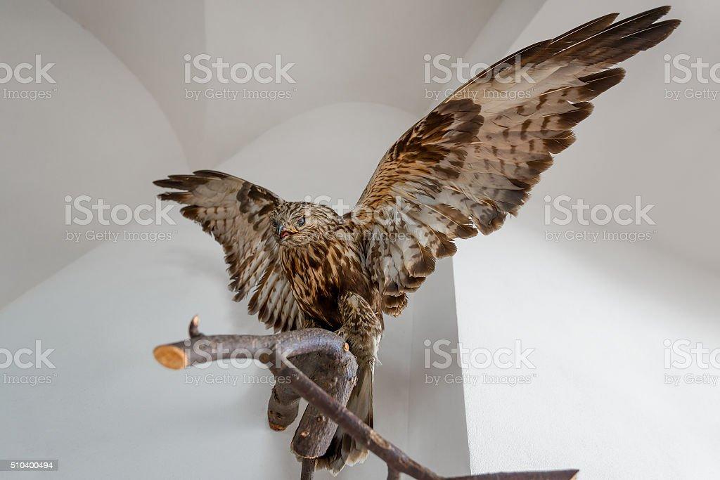 stuffed hawk beautiful bird on a branch indoors stock photo