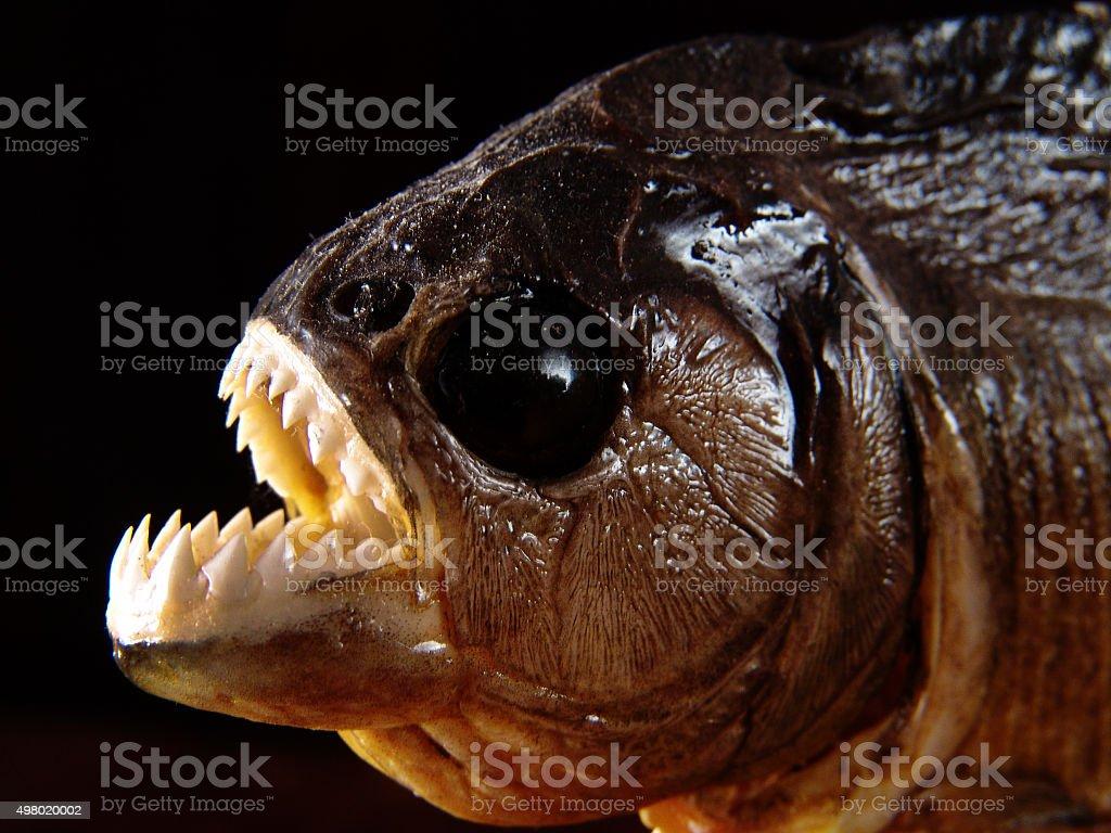 Stuffed mounted piranha fish showing serrated sharp tooths, Amazon, Brazil stock photo