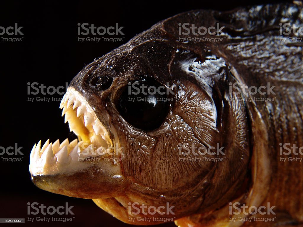 Stuffed mounted piranha fish showing serrated sharp tooths, Amazon, Brazil stock photo
