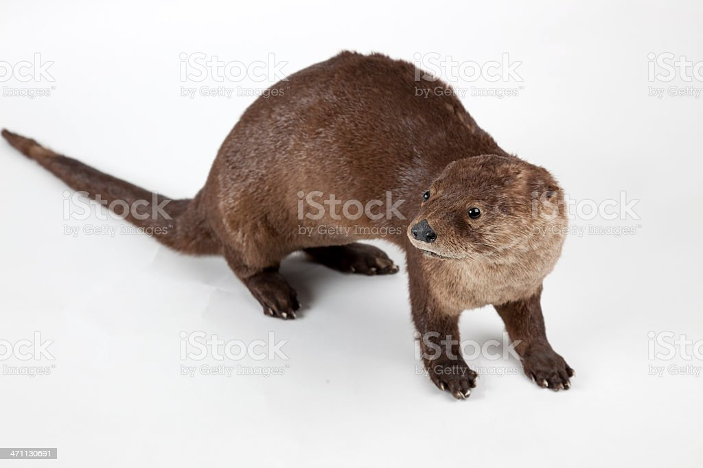 Stuffed Otter royalty-free stock photo