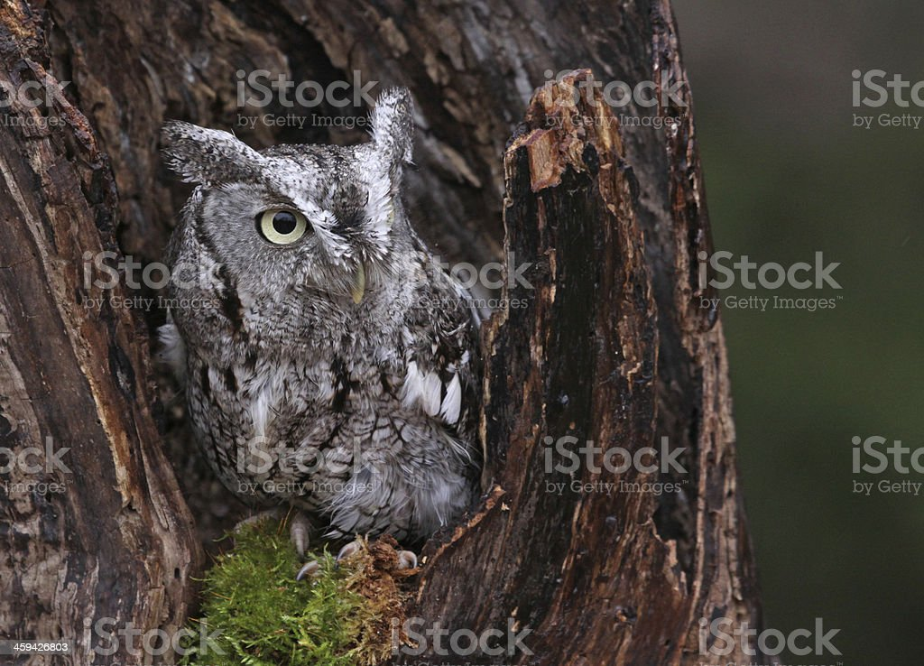 Stump and the Owl stock photo