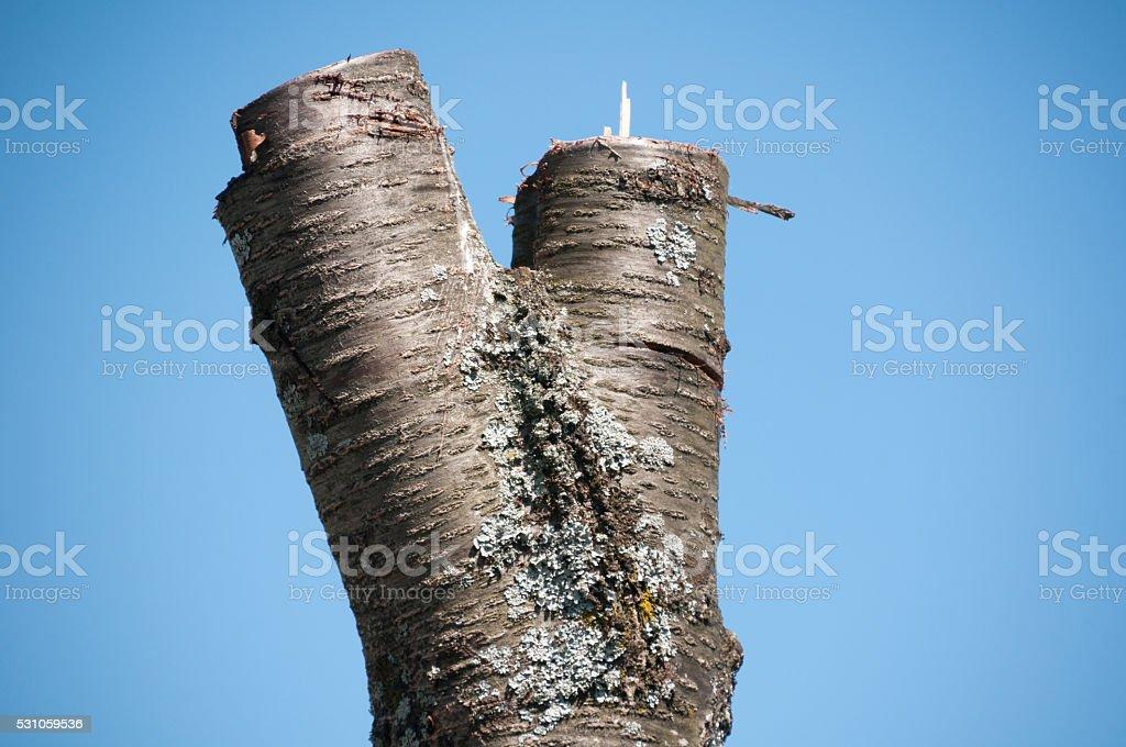 Stump of a sawed cherry tree stock photo