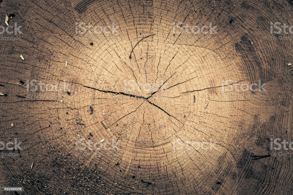 Stump of oak tree felled - section of the trunk with annual rings. Slice wood. stock photo