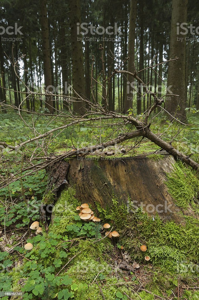 stump of spruce (Picea) with mushrooms, coniferous forest stock photo