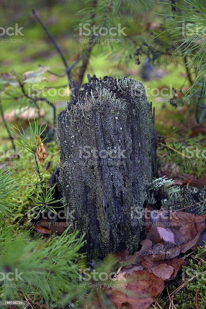 stump royalty-free stock photo