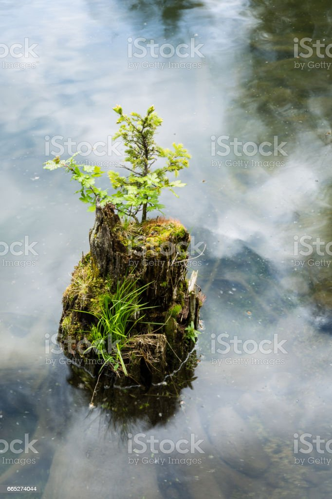 Stump rising out of lake covered in moss, grass, and plants stock photo