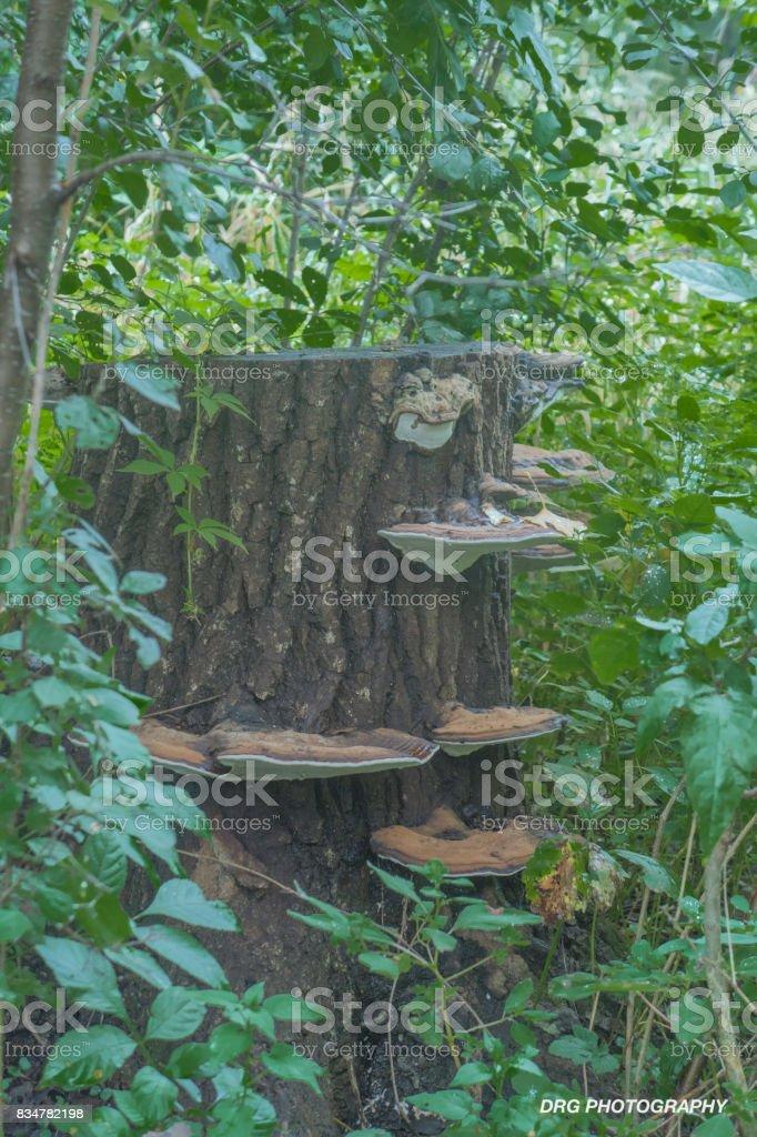 Stump With Mushrooms stock photo