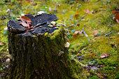 stump/stump and acorn