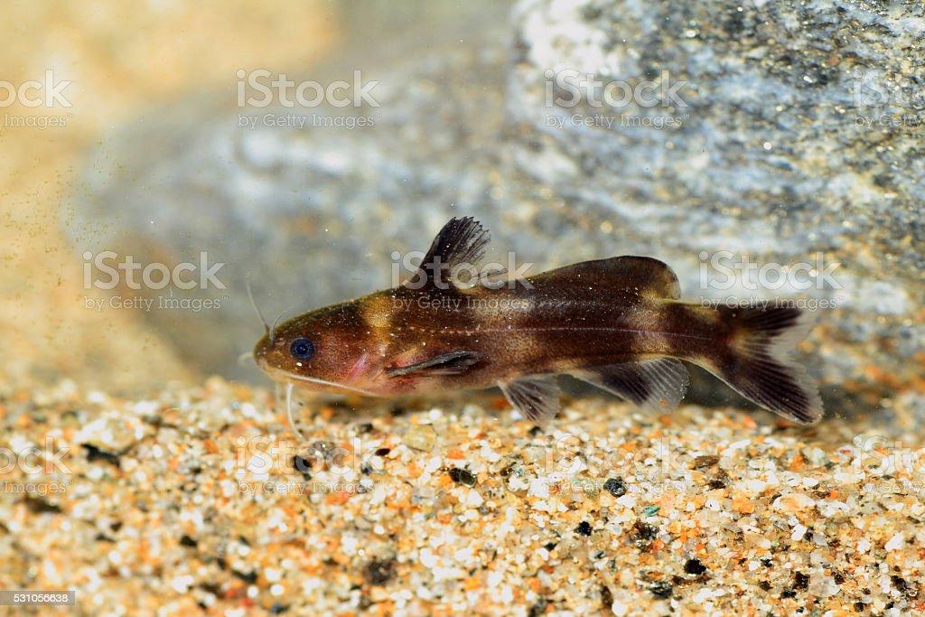 Stumpy bagrid catfish stock photo