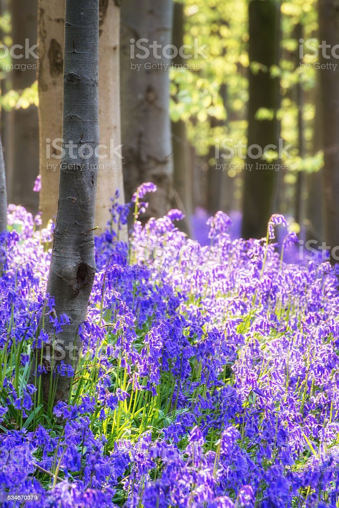 Stunning bluebell flowers in Spring forest landscape stock photo