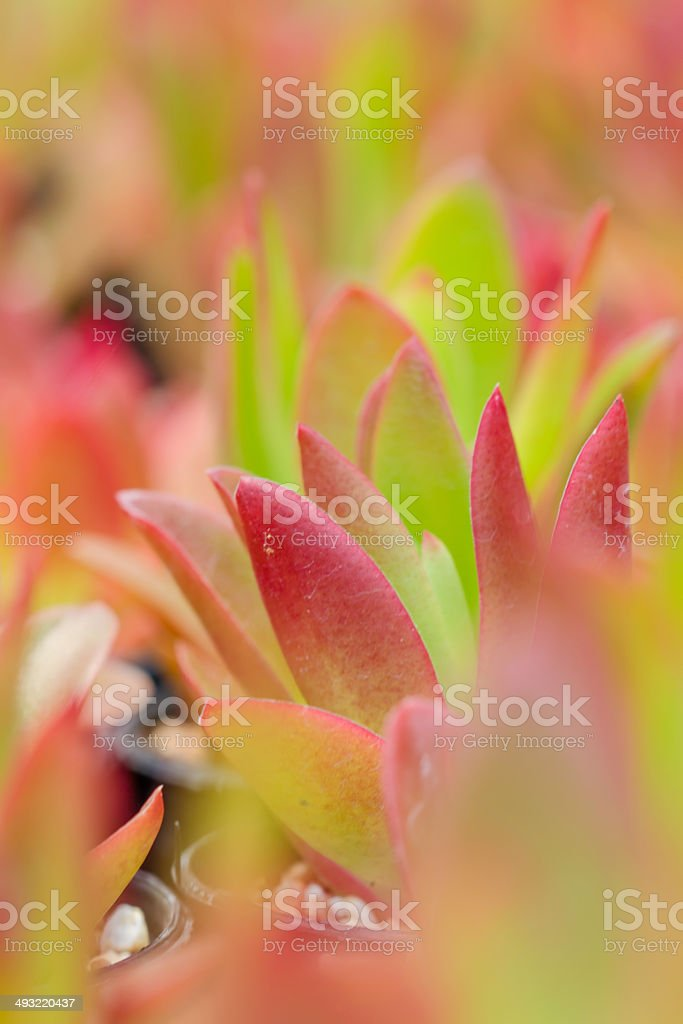 Stunning burgundy and green succulent stock photo