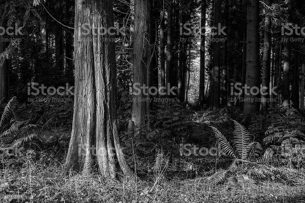 Stunning early morning forest landscape in Spring with sunlight stock photo