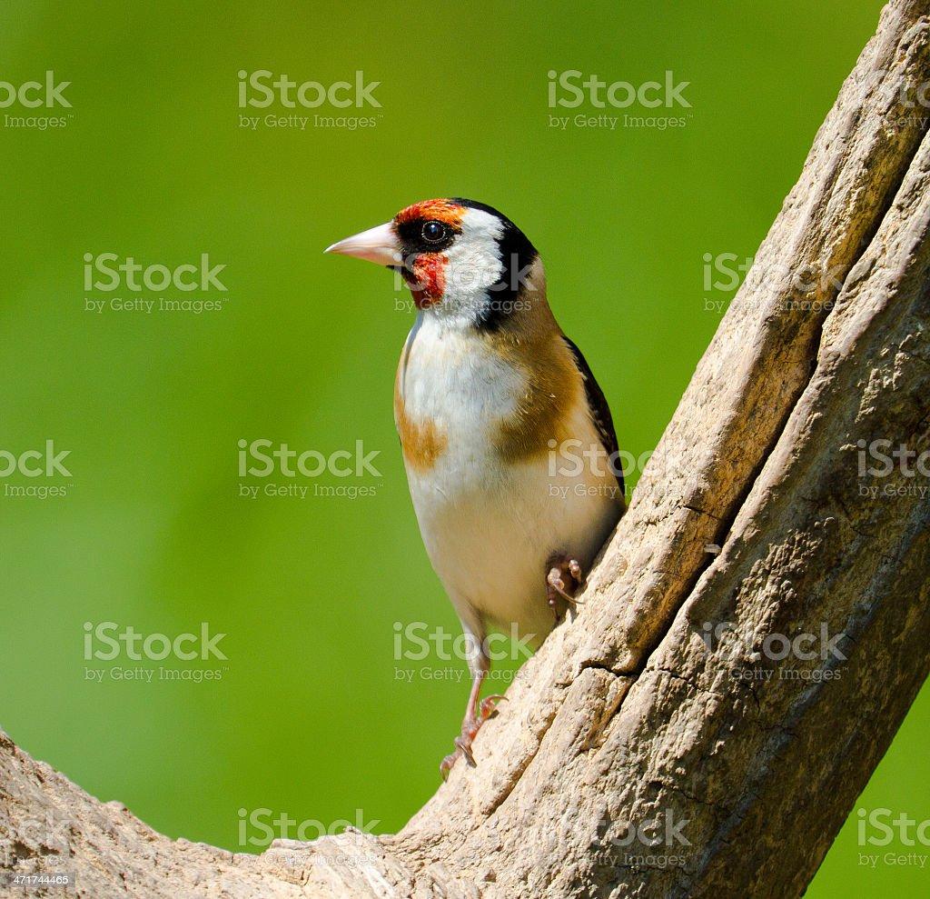 Stunning Goldfinch stock photo