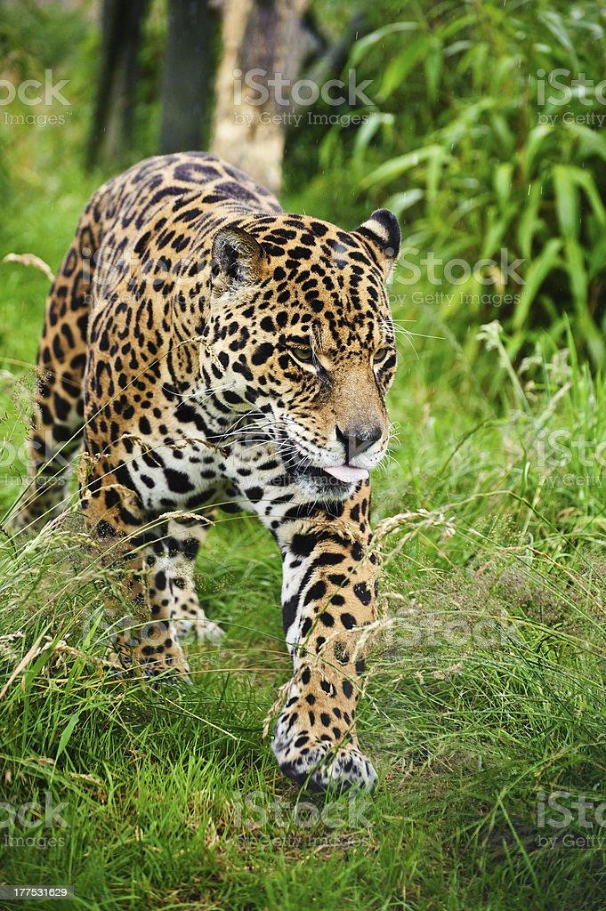 Stunning jaguar Panthera Onca prowling through grass royalty-free stock photo