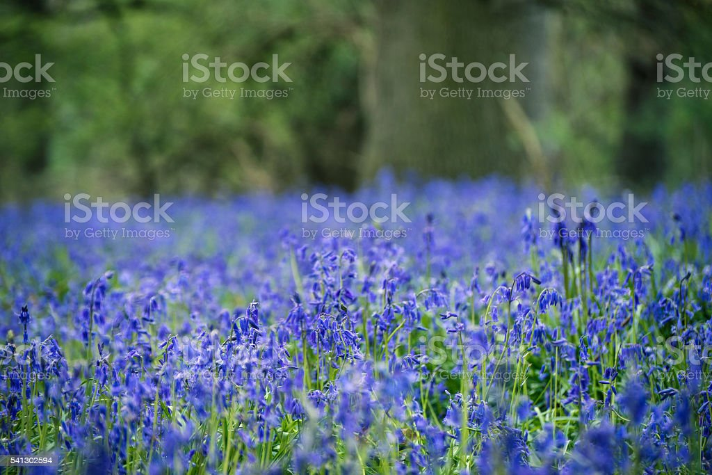 Stunning landscape image of bluebell forest in Spring stock photo