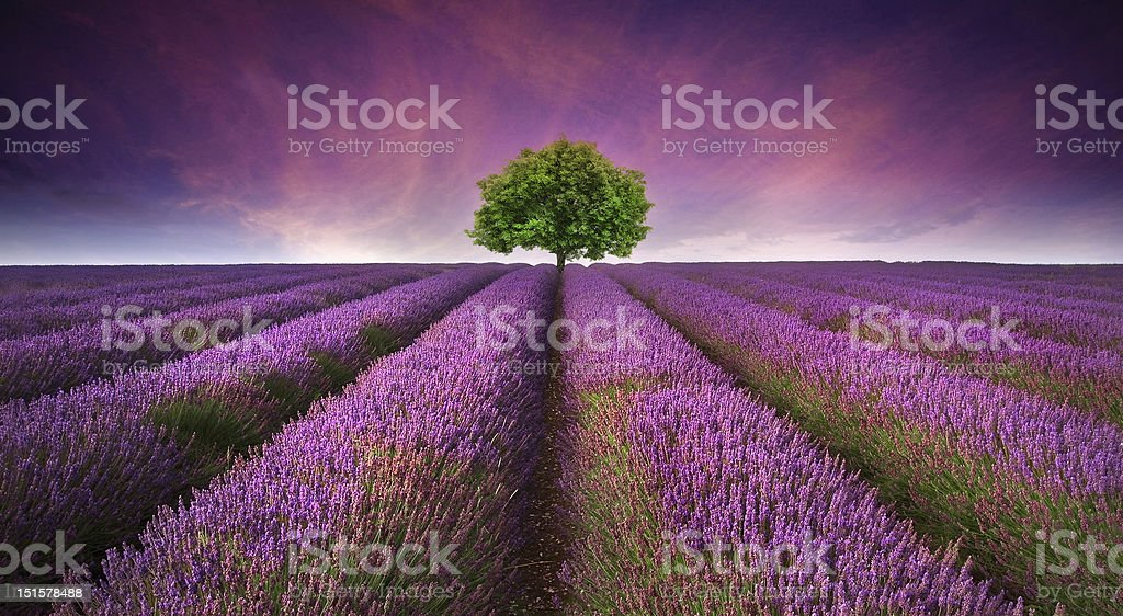 Stunning lavender field landscape Summer sunset royalty-free stock photo
