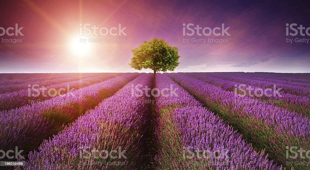 Stunning lavender field landscape Summer sunset with single tree stock photo