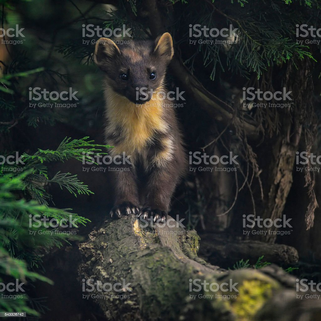 Stunning pine martin martes martes on branch in tree stock photo