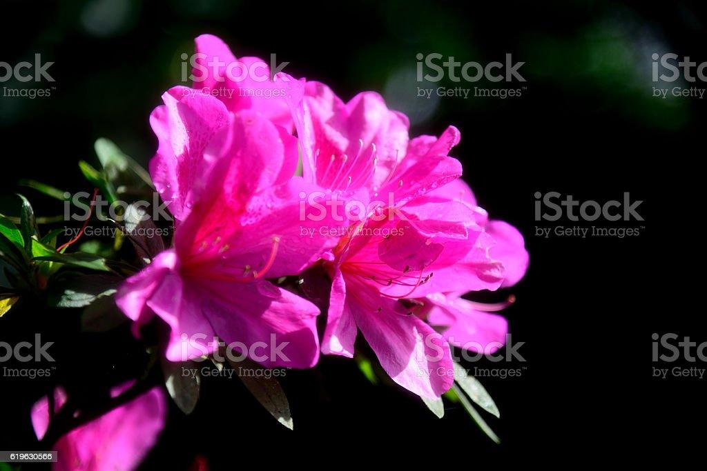 stunning pink Azalea stock photo