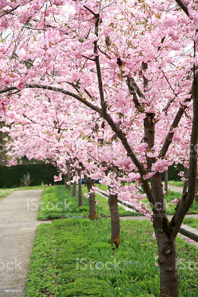 Stunning pink cherry blossom trees in a park royalty-free stock photo