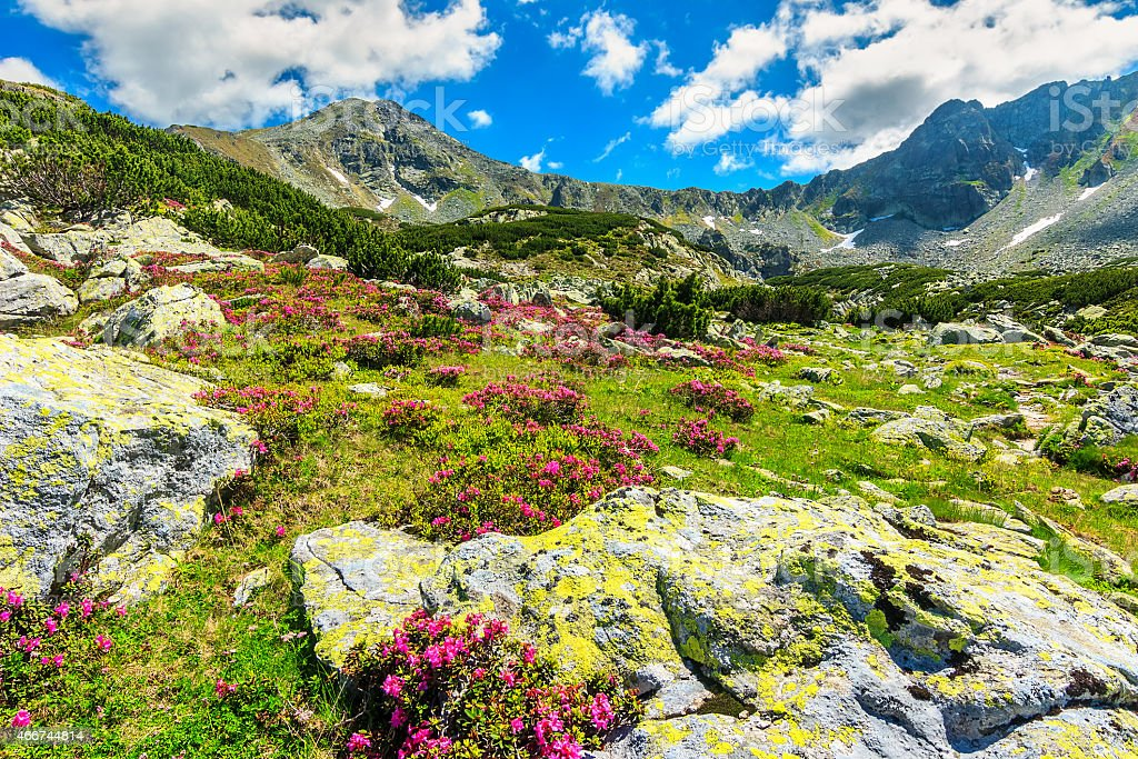 Stunning pink rhododendron flowers in the valley,Retezat,Carpathians,Romania stock photo