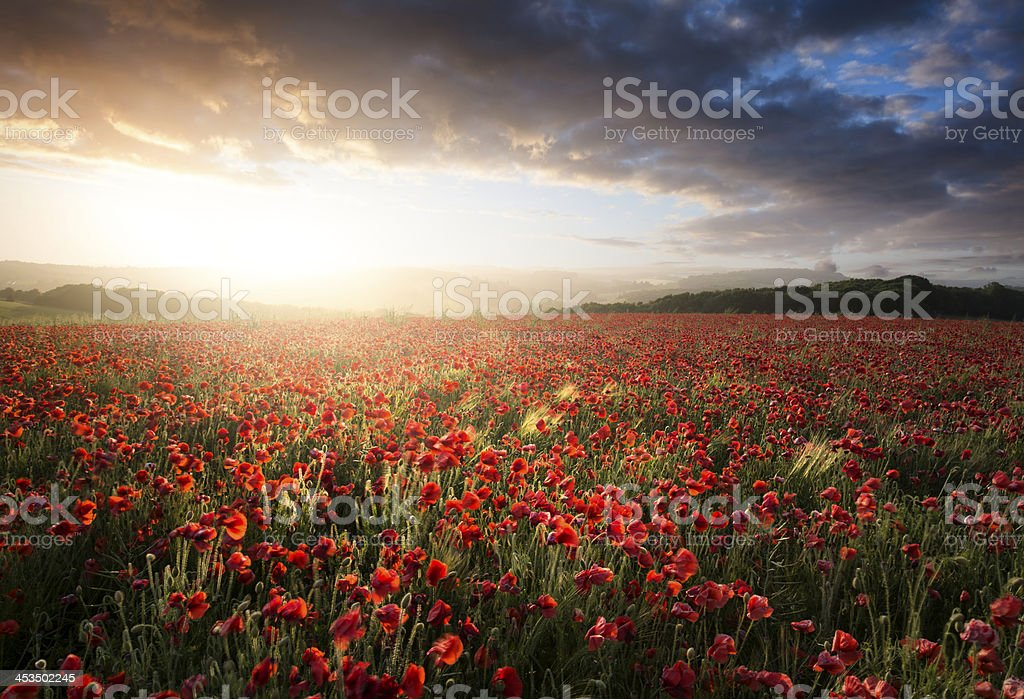 Stunning poppy field landscape under Summer sunset sky stock photo