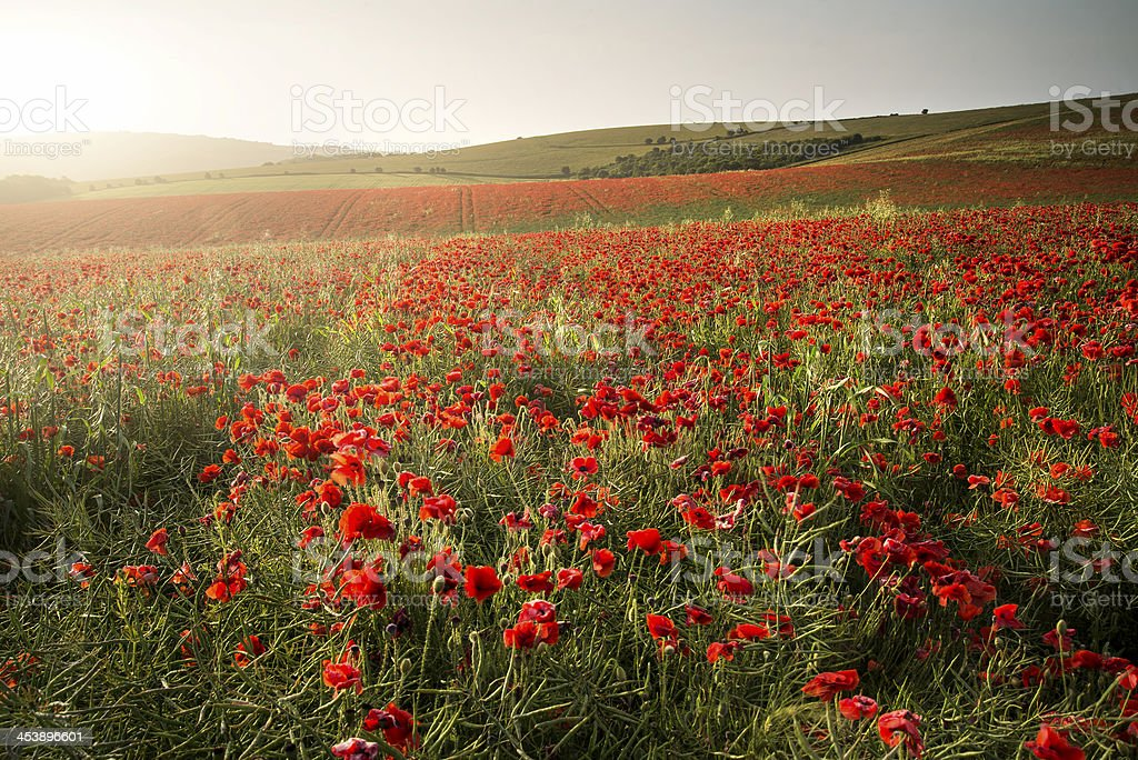 Stunning poppy field landscape under Summer sunset sky royalty-free stock photo