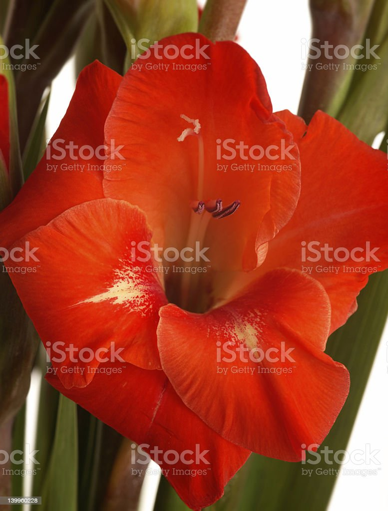 Stunning red gladiolus flower royalty-free stock photo
