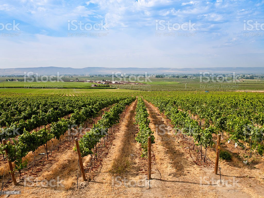Stunning Vineyard on a Summer Day stock photo