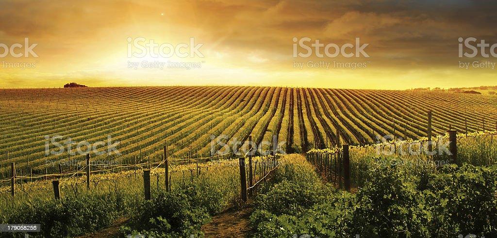 Stunning Vineyard Sunset stock photo