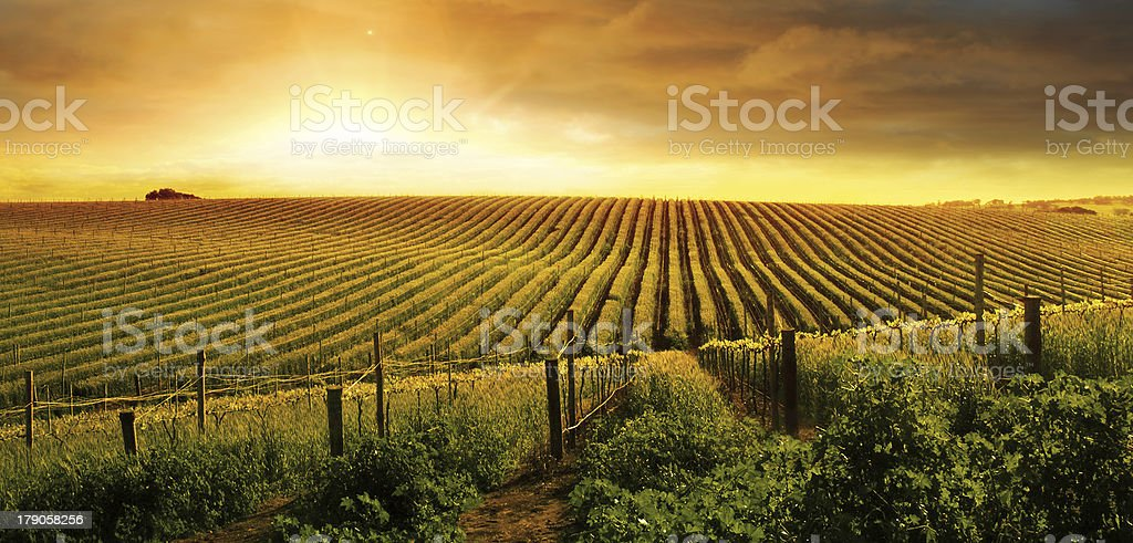 Stunning Vineyard Sunset stock photo