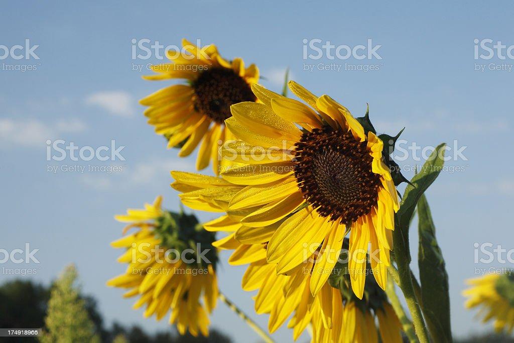 Stunning wild sunflowers. stock photo