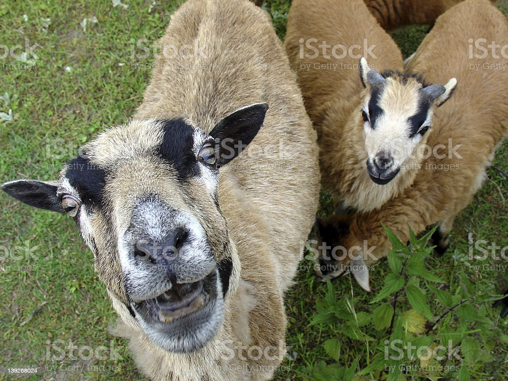 stupid looks - a goat royalty-free stock photo