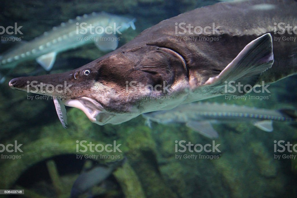 Sturgeon fish close-up stock photo