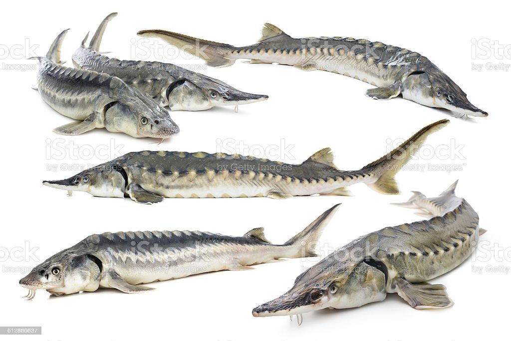 Sturgeon fish collage stock photo
